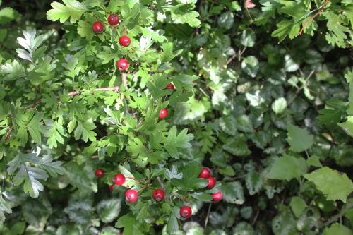 6 crataegus mono romi 6 sept 2015 006 (1).jpg