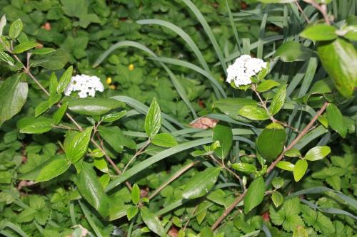 viburnum x burkwoodii veneux 19 avril 2015 009 (1).jpg