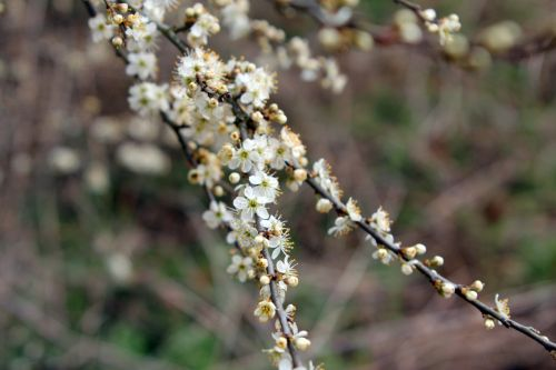 3 prunus spinosa 10 avril 2013 010.jpg