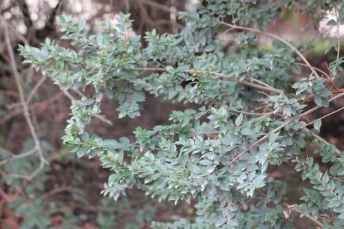 4 luma apiculata paris 10 fév 2015 106.jpg