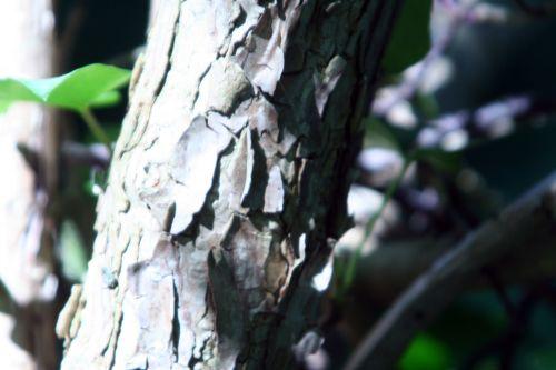 hydrangea bretschn 3 juin 053.jpg