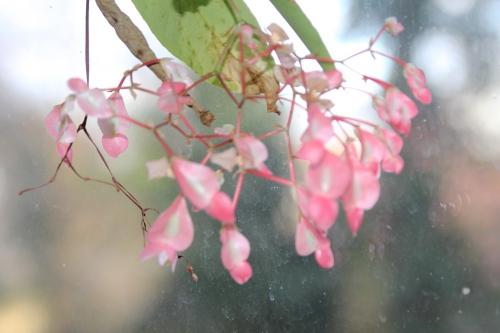 13 begonia veneux 15 fev 2016 024 (1).jpg
