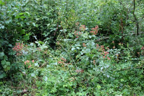 fraise des bois romi 30 juillet 028.jpg
