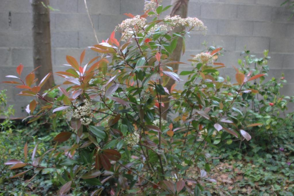 La taille du photinia sureaux for Www jardiner malin fr