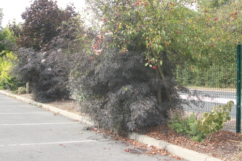 9 black lace jardiland 20 août 2012 015.jpg