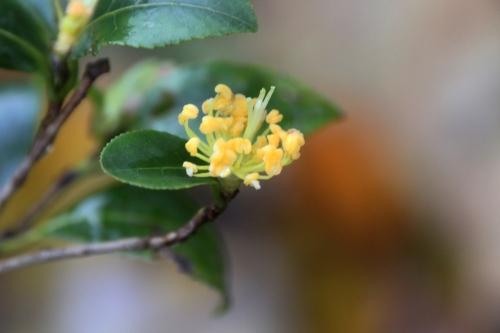 14 camellia sasanqua  veneux 12 nov 2017 015 (2).jpg