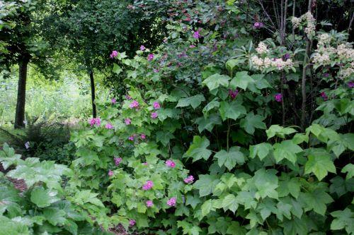 1 rubus odoratus marnay 23 juin 2013 091 (2).jpg