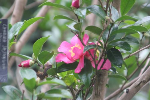 2 camellia sasanqua crimson king gb 21 oct 2012 .jpg