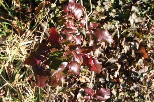 16 aquifolium veneux 19  fev 064.jpg