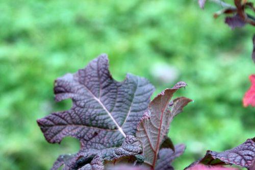 8 hydrangea quercifolia paris 24 déc 2012 085.jpg