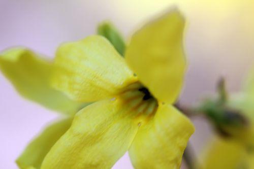forsythia 6 romi 15 mars 2012 067.jpg
