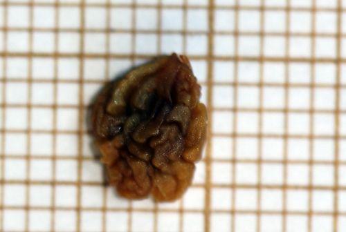 viburnum tinus graine 26 fev 2012 057.jpg