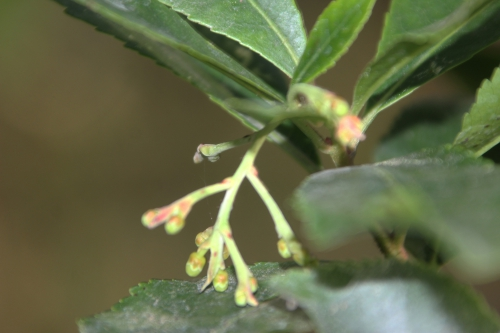 arbutus andrachnoides veneux 18 oct 2016 004.jpg