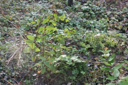 2 hypericum androsaemum romi 28 nov 204 022.jpg