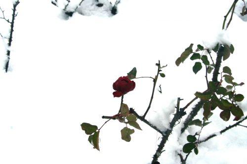 rose neige 20 déc 2010 033.jpg