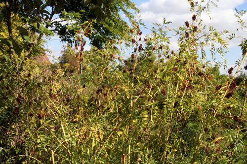 b glycyrrhiza marnay 18 sept  2010 053.jpg