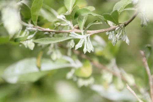 4 elaeagnus multiflora romi 25 avril 2017 023.jpg