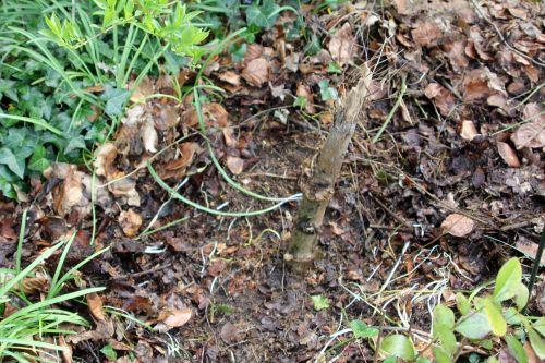 1 dahlia arborea 19 avril 2013 005.jpg