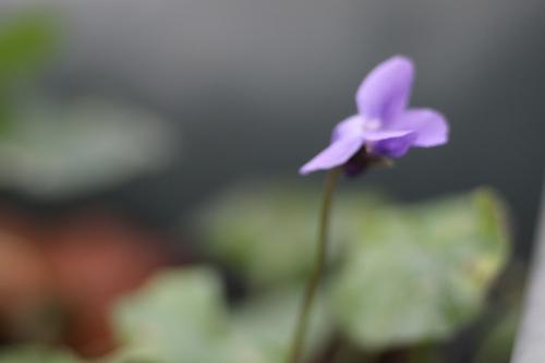 1 violette veneux 16 janv 2015 038.jpg
