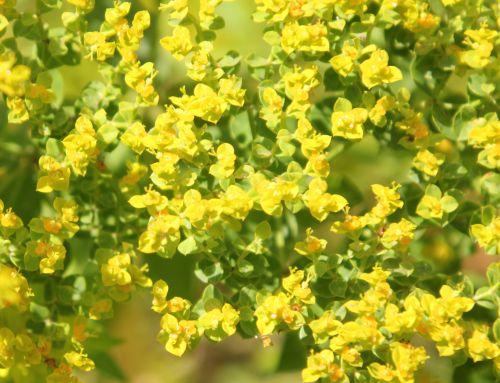 euphorbia myrsinites 3 paris 21 juil 2012 255.jpg
