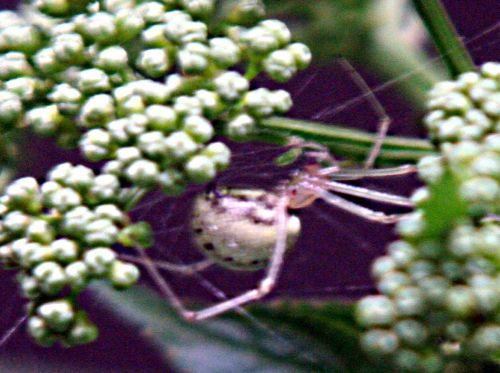 6 chinensis araignée bl pp 12 juil 010.jpg