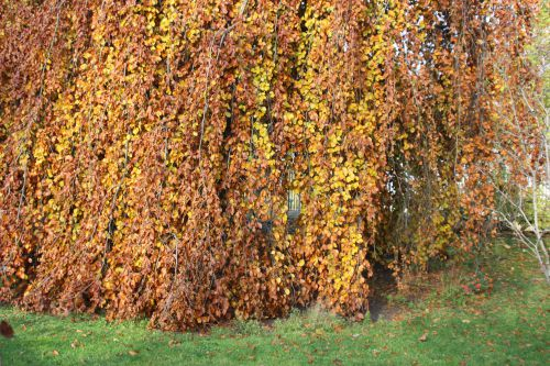 x fagus pendula 2 paris 1 dec 2013 250 (1).jpg