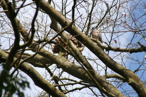 4 pigeon 29 mars 005.jpg