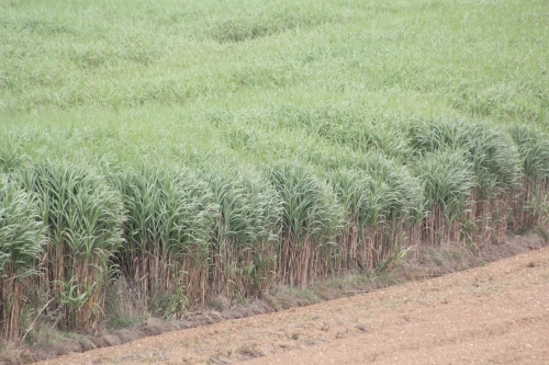6 miscanthus cannes ecluse 001.jpg