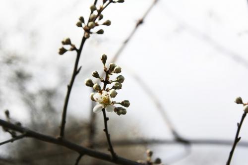 prunus spinosa romi 1 avril 2015 082 (1).jpg