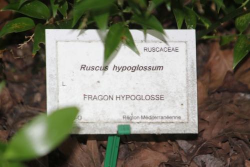 6 ruscus hyp 30 juin 2012 246.jpg