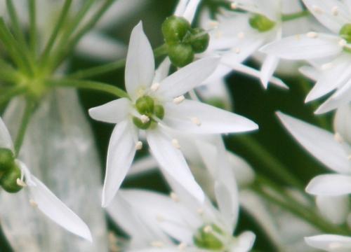 5 allium ursinum s fleur veneux 005.jpg