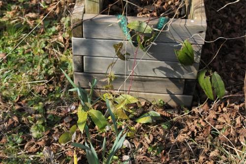5 bignonia capreolata romi 16 mars 2015 020.jpg
