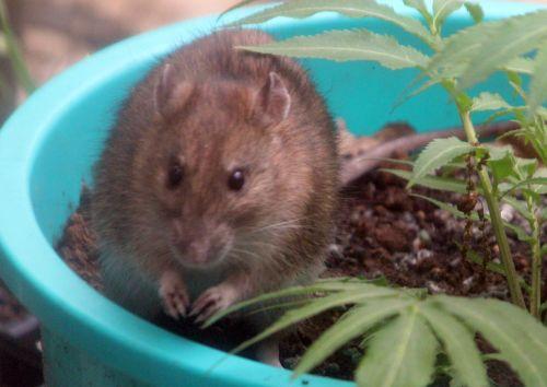 3 rat 27 avril 2012 052.jpg
