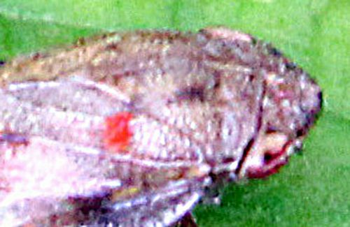 cicadelle tache romilly 16 juil  2012 p 203.jpg