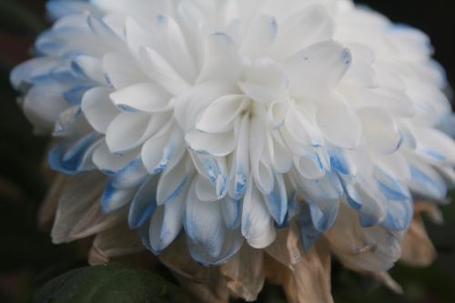 12 chrysanthème veneux 31 dec 2017 003.jpg