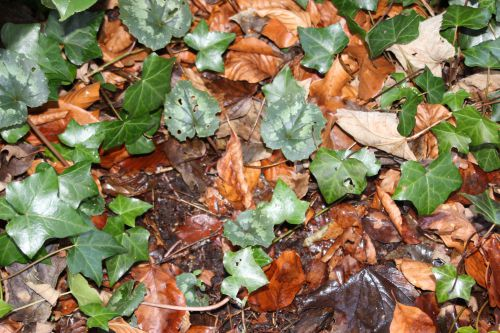 1 cyclamen pseudibericum veneux 4 janv 2014 008 (4).jpg