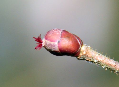 9 corylus purpurea f rec romi 17 fev 2014 018.jpg