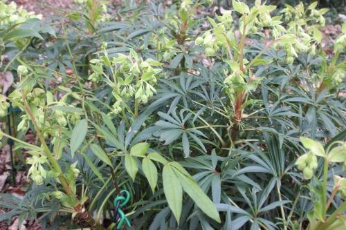 4 zanthoxylum subtrifoliatum veneux 26 fév 2017 004.jpg
