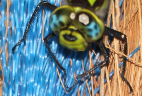 aeschne bleue tête veneux 7 août 2015 006.jpg