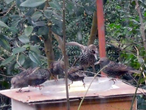 11 oiseaux 4 jan 2011 009.jpg