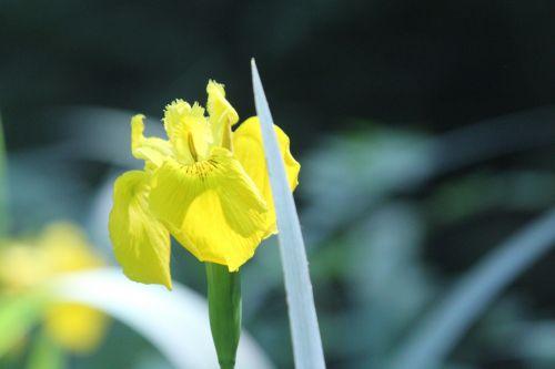 iris pseudacorus mare romi 26 mai 2012 018.jpg