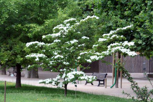 1 cornus chinensis xx 3 juin 2008 023.jpg