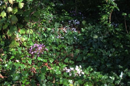 2 cyclamen hederifolium veneux 23 sept 2016 007.jpg