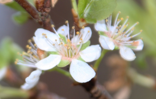 3 prunus salicina romi 14 mars 2016 022.jpg