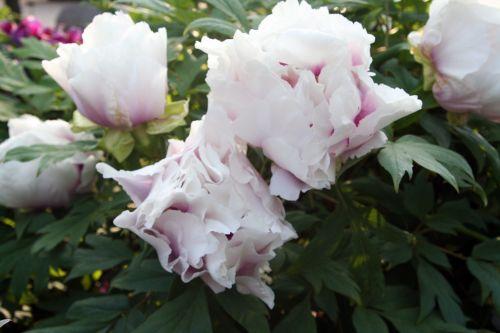 paeonia fleurs paris 27 avril 012.jpg