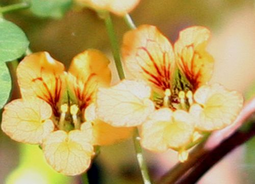 Tropaeolum 4 fleurs 18 mai 009.jpg
