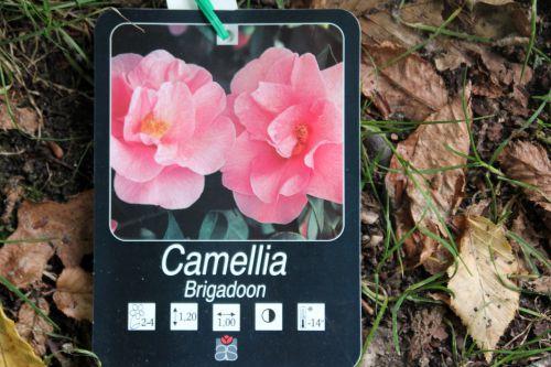 camellia 16 sept 2013 009.jpg