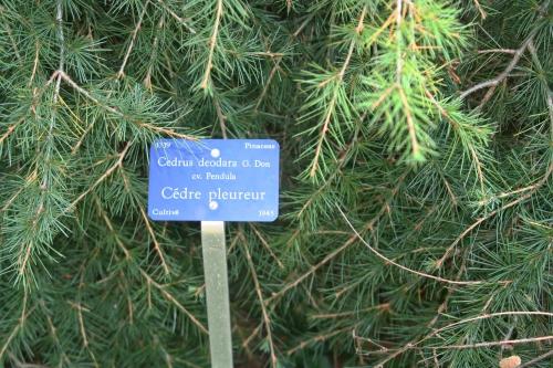 8 cedrus deo pend arbofolia 9 oct  2010 094.jpg