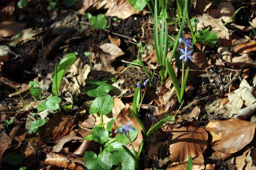 scilla 1 bifolia veneux 25 fev 2014 020.jpg