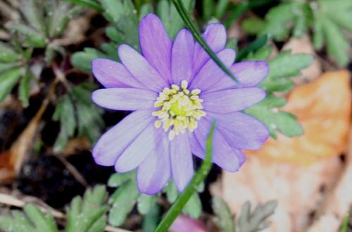 23 anemone bleue 14 avril 002.jpg